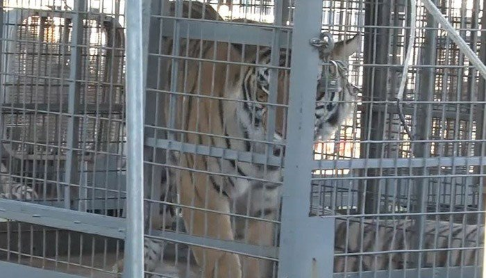 The trainer fell during a tiger show for elementary school children, and the tiger got on top of her, lacerating her shin and thigh. (Source: WKRG/CNN)