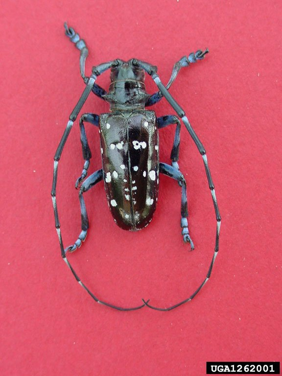 The adult Asian longhorned beetle displays distinctive white blotches and long antennae. (Photo courtesy Michael Bohne, Bugwood.org).
