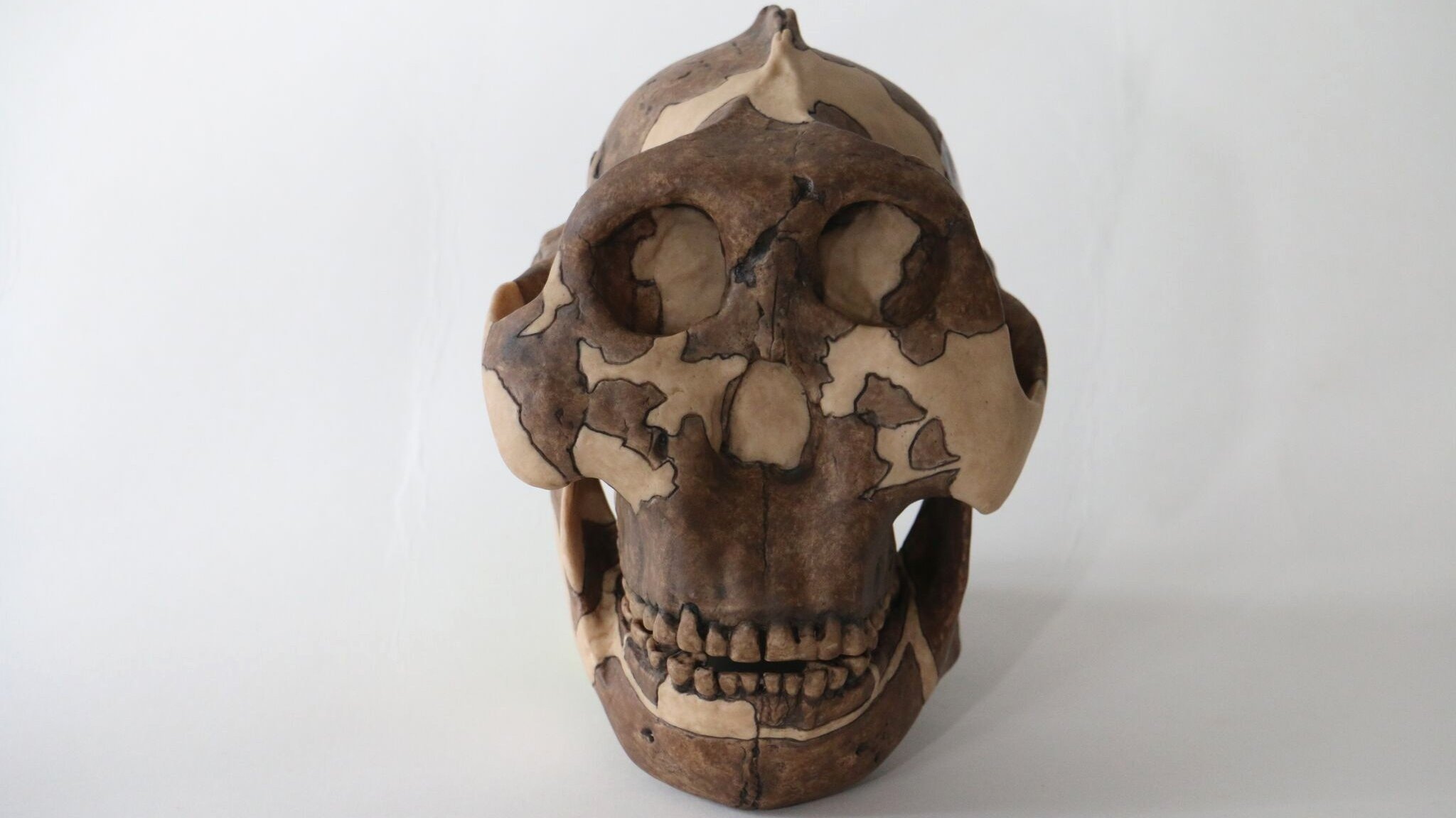 Standing about 4 feet tall, early human ancestor Paranthropus boisei had a small brain and a wide, dish-like face. It is most well-known for having big teeth and hefty chewing muscles. (Source: Cambridge University)