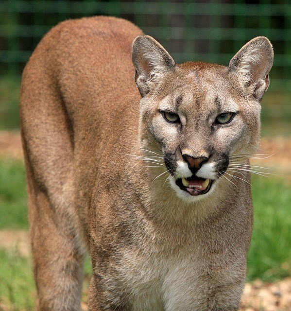 eastern puma in captivity