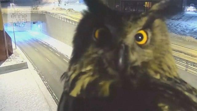 Video: Owl photobombs traffic cam