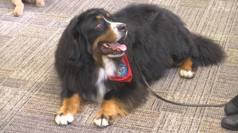 Samson, a 6-year-old Bernese Mountain Dog