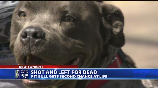 Pit bull gets second chance at life after being shot