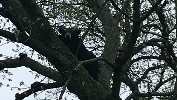 Black bear spotted up tree in Grand Rapids