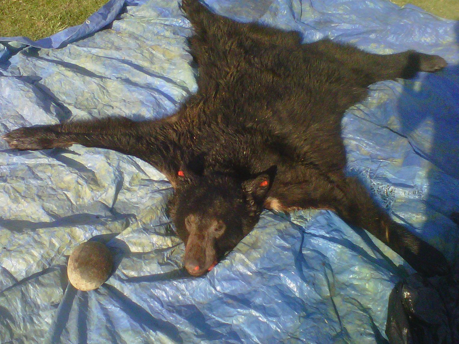 A photo of the bear skin - courtesy Jeffrey Jenkins