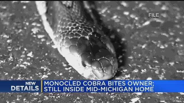 Monocled Cobra bites owner; still inside Mid-Michigan home
