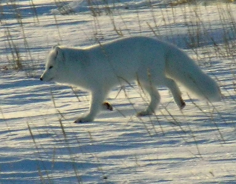 Not actual arctic fox in question