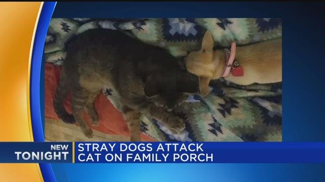 Stray dogs attack cat on family porch
