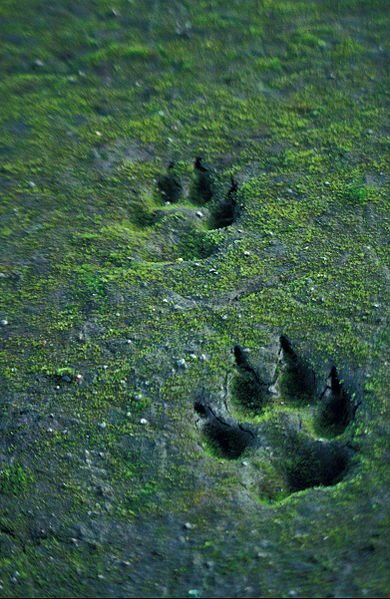 Wolf tracks file photo