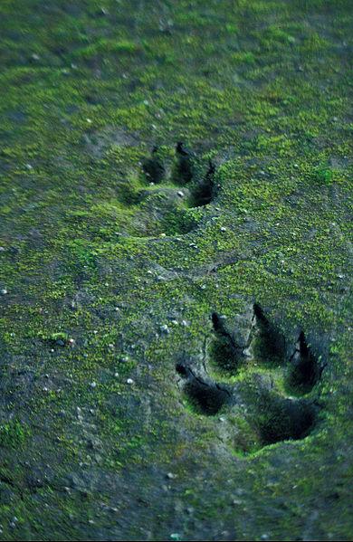 Wolf tracks file photo