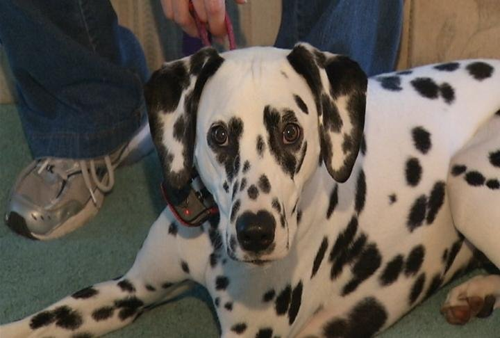 Whitney the deaf Dalmatian.