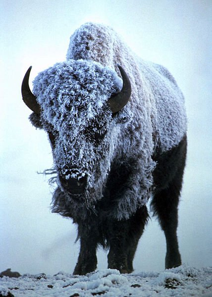 bison covered in snow.