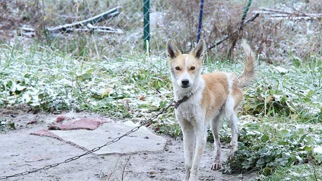 A dog kept outdoors during the winter -- the animal is lacking adequate shelter, food or water.