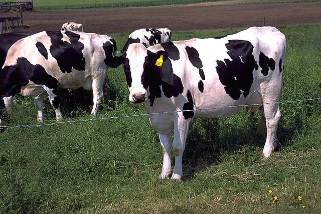 A cow in a pasture.
