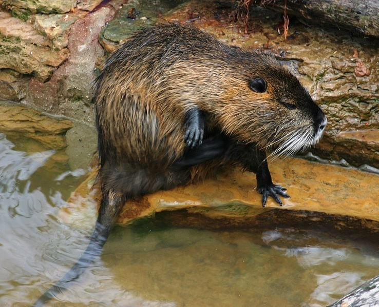 A muskrat, photo courtesy of Les Meloures at Wikipedia.