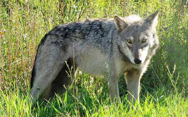 Photo of a Gray Wolf at the Seney Natl. Wildlife Refuge in Michigan -- courtesy of the Seney Natural History Association.