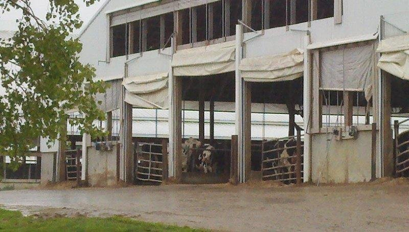 This photo shows cows packed inside a barn-like structure.