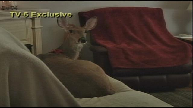 Yep, that's a deer sitting on the couch -- Lilly will be allowed to live at home thanks to an agreement reached with the DNR.
