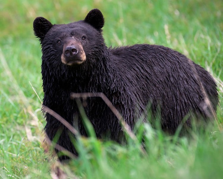 A black bear -- not the exact bear the Sanford woman had a close encounter with last week.