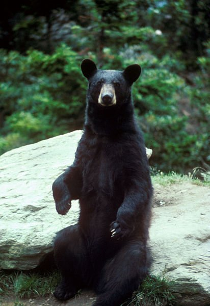 A black bear -- not the same bear involved in the attack in northern Michigan.