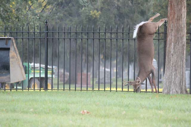 TV5's Gino Vicci snapped this photo of the 6-point buck on his way to work Friday morning.