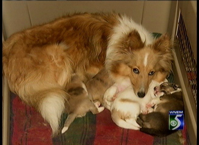 A rescued momma Sheltie with her pups.