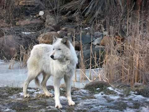 Zena the grey wolf