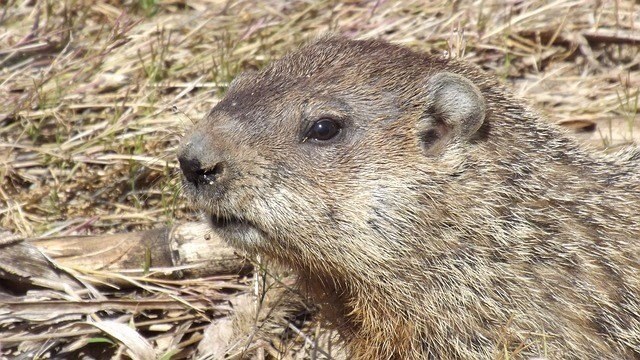 Groundhog Day 2018: Will Punxsutawney Phil See His Shadow?