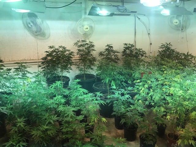 More than 150 marijuana plants seized in search - WNEM TV 5
